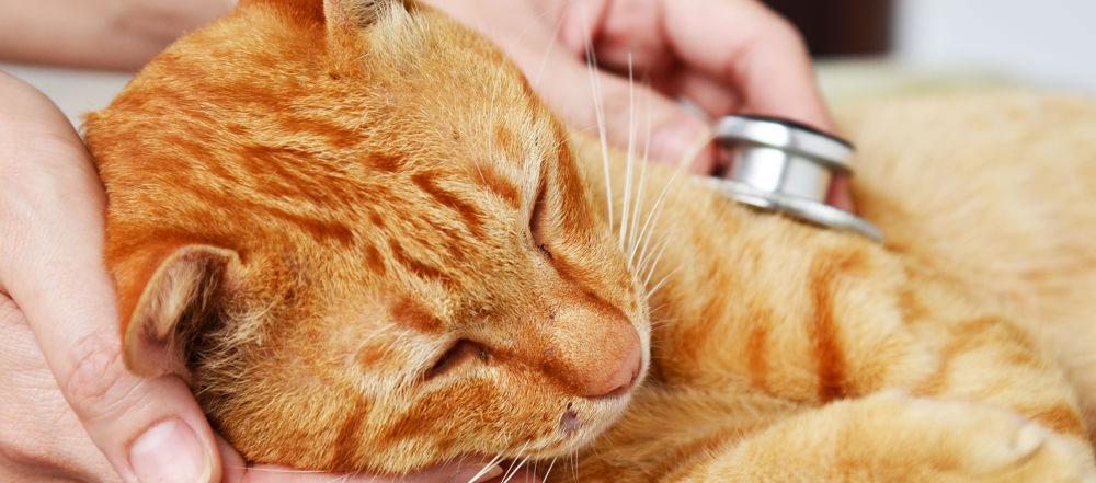 Los principales parásitos del gato