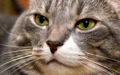 Curar agresividad gato