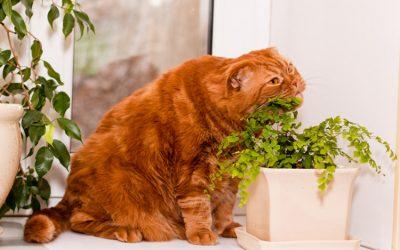 Obesidad en el gato