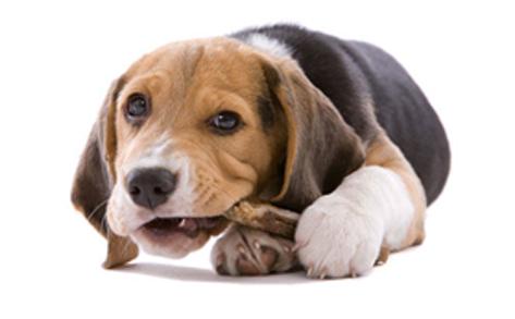 Limpieza dental perros